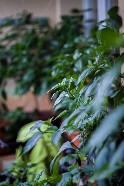 Rostliny chilli papriček na mém balkóně