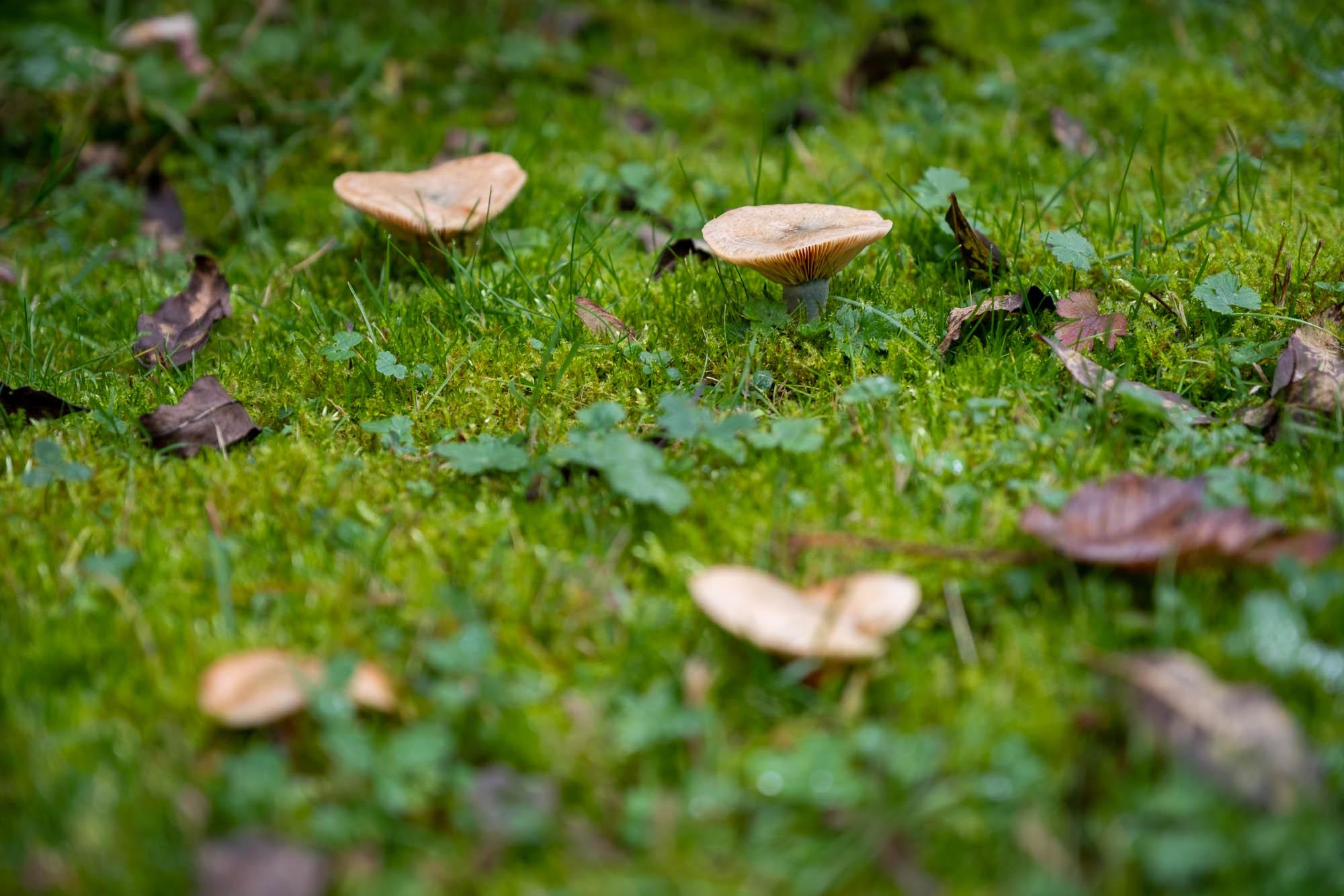 Ryzec smrkový v trávě